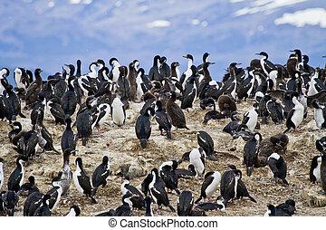 -, kormoran, ptaszki, kolonia