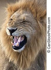 -, löwe, mann, afrikas, botswana
