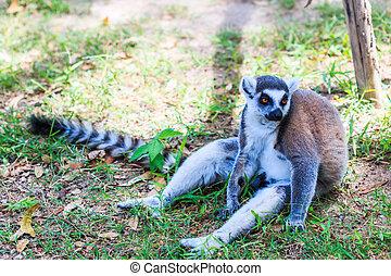 -, lemur catta, beugel ge-schauuuwd