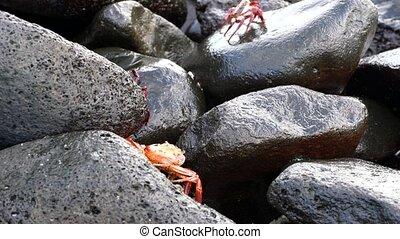 -, lightfoot, sally, mouillé, crabe, rocks., galapagos, ...