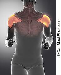 -, médian, anatomie, deltoïde, muscle humain
