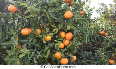 -, mûre, mandarines, verger, jardin, branche