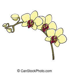 -, mano, rama, dibujado, phalaenopsis, orquídea