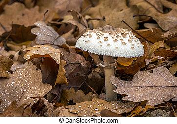 -, mastoidea, champignon comestible, macrolepiota