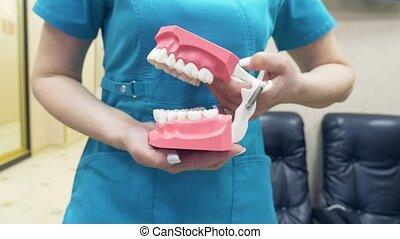 El Dentista Muestra La Estructura De La Boca Con La Ayuda De