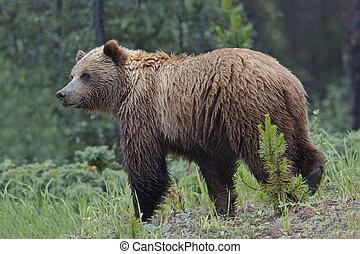 -, nazionale, parco, orso, diaspro, grigio