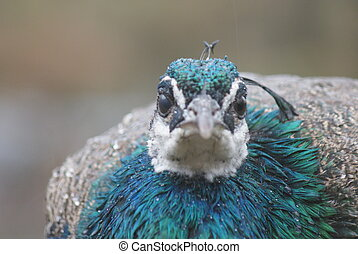 -,  peafowl,  indian,  Pavo,  cristatus
