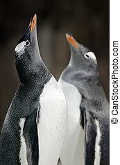-, pygoscelis papua, pingüino, gentoo