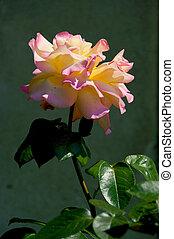 -, róża, szczelnie-do góry, kwiat, pomarańcza