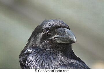 -, raaf, corax, corvus