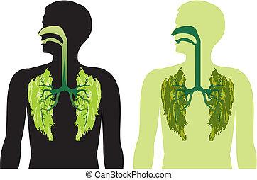 -, respiração, lóbulos, pulmão, fres, verde