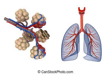 -, saturating, krev, plíce, alveoli