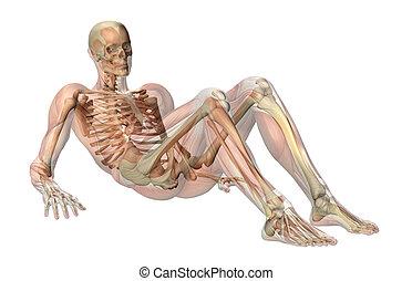 -seated, muscoli, scheletro, semi-trasparente, pavimento