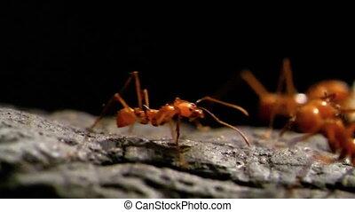 -, slow-mo, leaf-cutter, hd, ants.
