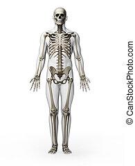 -, squelette, humain