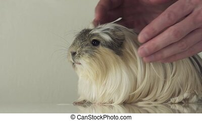 Favorite guinea pig breed Coronet cavy trusting in the good...