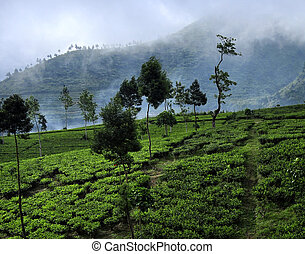 -, té, indonesia, java, plantación