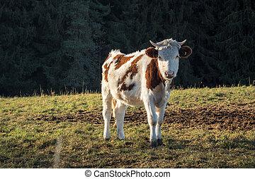 -, tele, bystrý, mládě, den, krmivo, kráva, podzim