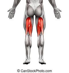 -, tendons jarret, mâle, isolé, muscles, muscle, blanc, ...