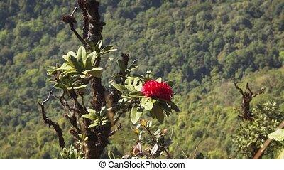 -, thaïlande, rose, rhododendron, rouges, arbre vert, shrub., sauvage