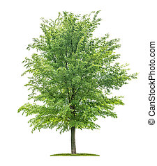 -, ulmus, ニレ, 木, 隔離された, 白い背景