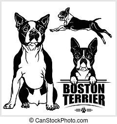 -, vector, aislado, fondo blanco, terrier, perro, conjunto, boston, ilustración
