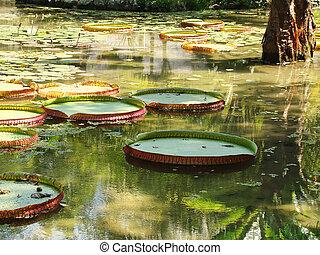 -, victoria, eau, amazone, plus grand, tipical, rivière, lis, regia, mondiale