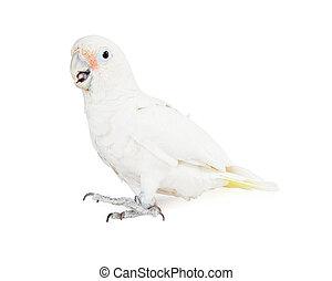 -, vue, côté, cacatoès blanc, oiseau, beau