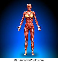 -, vue, femme, antérieur, anatomie
