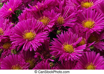 01, aster