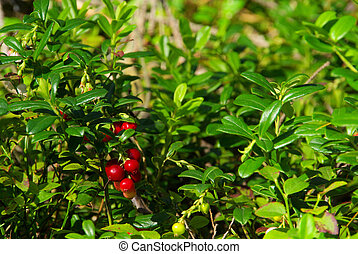 02, pflanze, cowberry