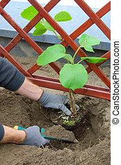02, planter, plante, kiwi
