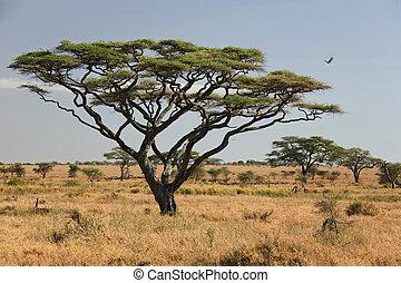 027, serengeti, afrikas, landschaftsbild