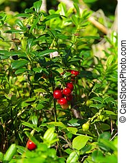 03, pflanze, cowberry
