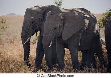 054, dyr, elefant