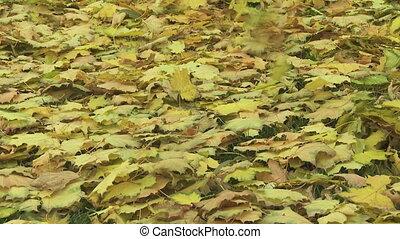 06, feuilles, érable, automne