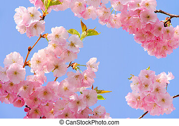 06, fleur, cerise, -, rosa, kirschbl?te