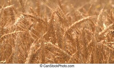 1, пшеница, ears