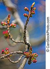 1, 春, つぼみ, さくらんぼ