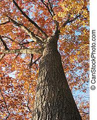 1, arbre, chêne, vieux, automne