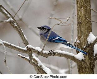 1, bluejay, jour, neigeux