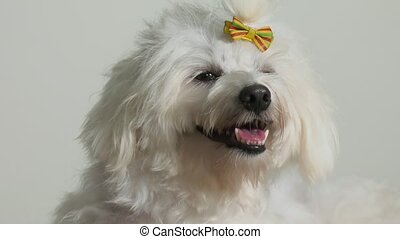 1-Little Poodle Dog Pet With Bowl Of Food - Pets and...