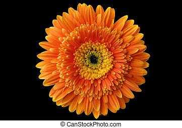 1, margarita de flor
