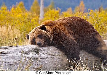 1, marrón, alaska, oso