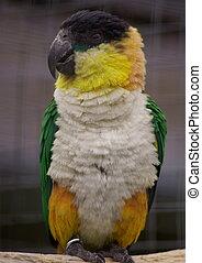 1. parrot 2. poll-parrot 3. popinjay