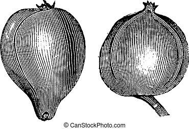 1- Pignut hickory 2. Bitternut hickory vintage engraving....