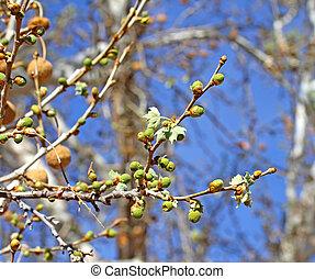 1, printemps, bourgeonner, sycomore, arizona