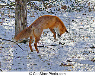 1, renard, rouges, chasse