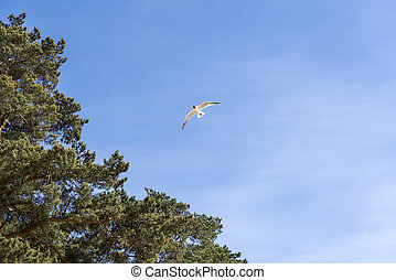 1 Seagull flying in blue sky, pine trees, nature of Baltic, Northern Europe