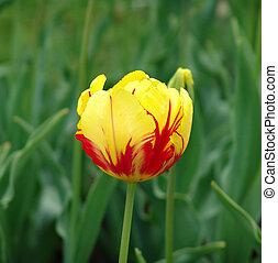 1, tulipa, amarela